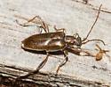 Unknown beetle - Donacia