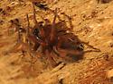 Spider - Callobius pictus