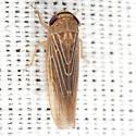 Deltocephalinae Leafhopper - Chlorotettix necopinus