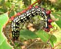 Caterpillar ID - Datana major