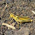 yellow grasshopper - Melanoplus bivittatus - female