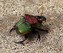 beetle - Phanaeus vindex