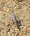 Grasshopper - Dissosteira pictipennis - male