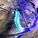 Pachydesmus crassicutis