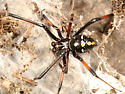 Northern Black Widow - Latrodectus variolus - male