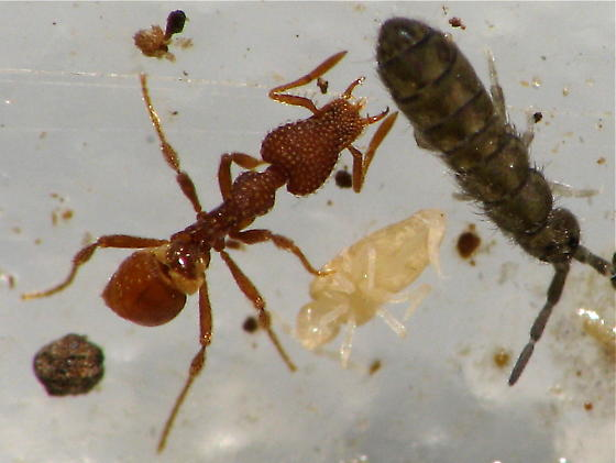 Trap Jaw Ant Queen Jawed Mini Trap-jaw Ant