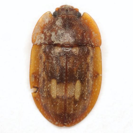 Lobiopa insularis (Laporte) - Lobiopa insularis