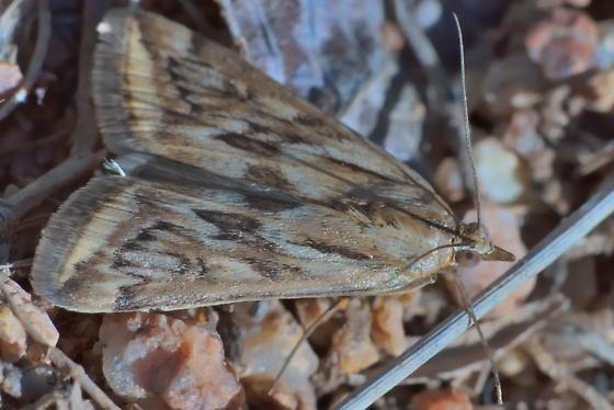 Moth head-wingtip 17mm - Loxostege cereralis
