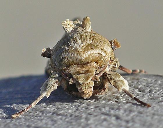 Velvet Armyworm Moth - Spodoptera latifascia