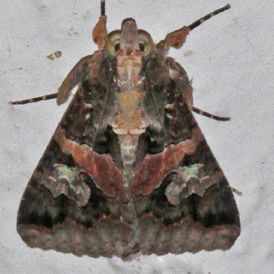 Melipotis famelica