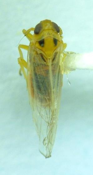 Delphacid - Muirodelphax arvensis