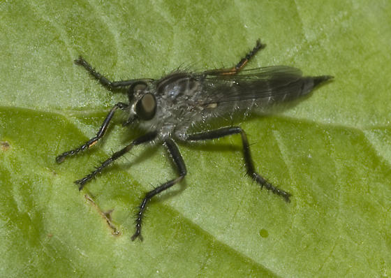 Robber Fly - Machimus virginicus
