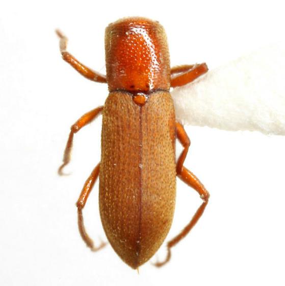 Comal Springs Dryopid Beetle - Stygoparnus comalensis