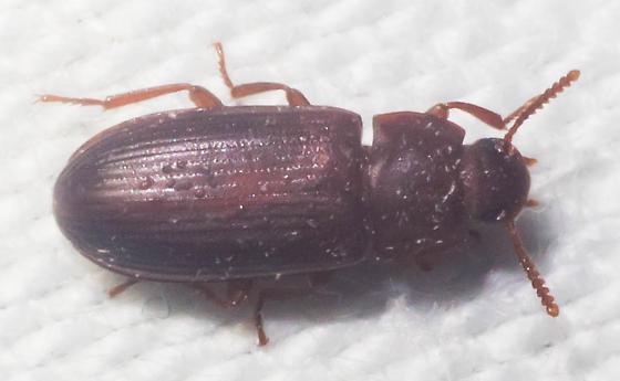 Pinkish-brown beetle - Cynaeus angustus