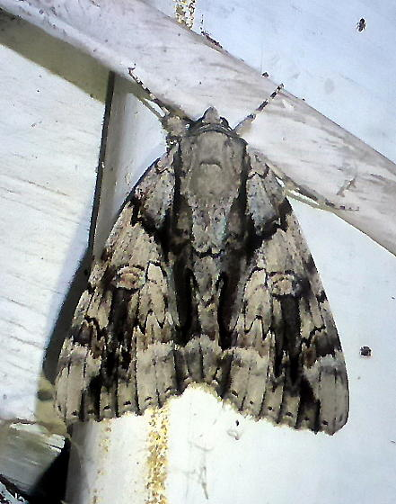 8792     Widow Underwing      (Catocala vidua) - Catocala vidua