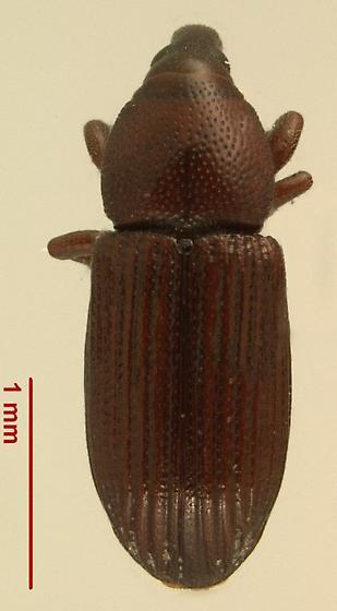 Caulophilus oryzae