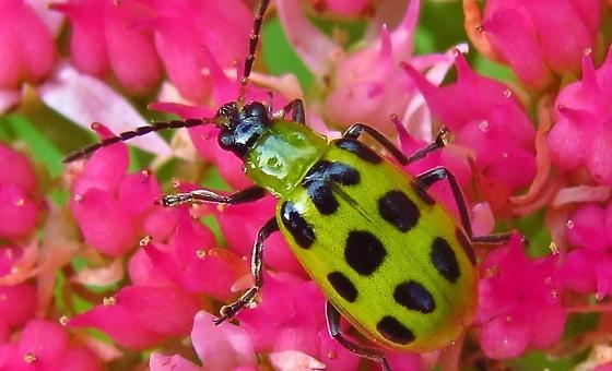 Id help needed - beetle. - Diabrotica undecimpunctata