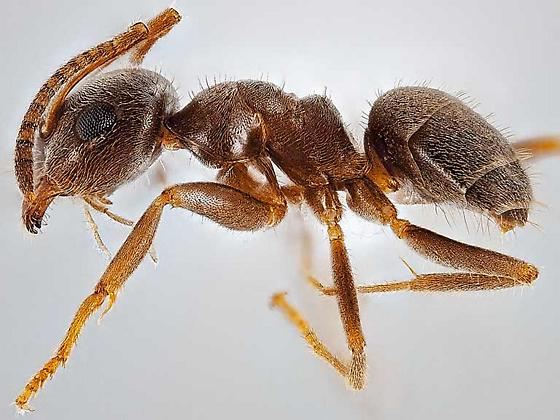 worker - Lasius niger