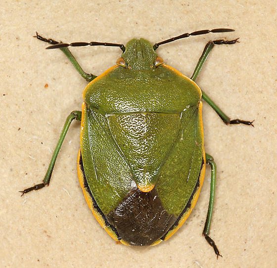 green stink bug - Chlorochroa rossiana