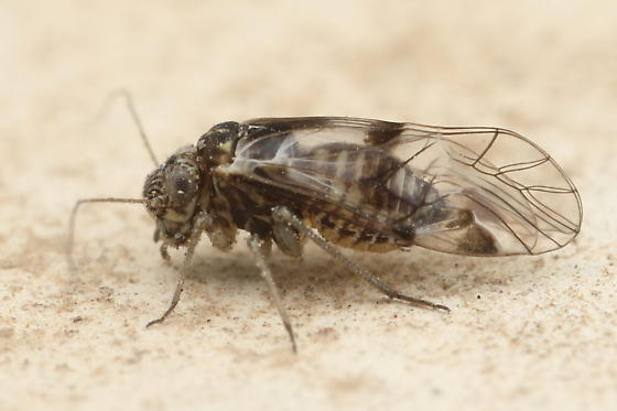 Barklouse - Indiopsocus bisignatus - female