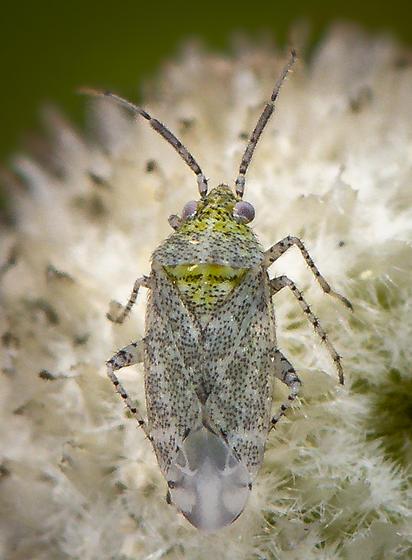 Cotton Fleahopper - Pseudatomoscelis seriatus
