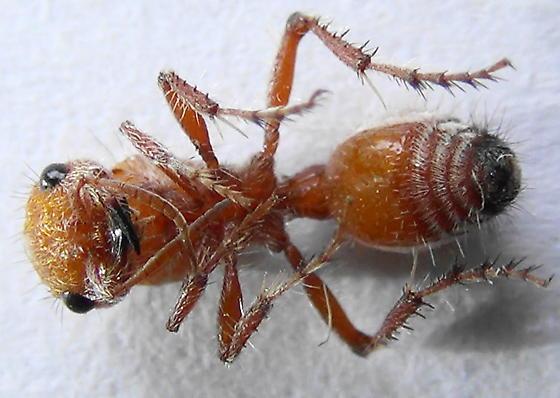 Sidestriped - Dasymutilla heliophila - female