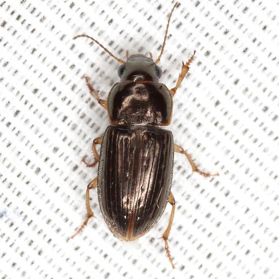 Bronze Beetle - Selenophorus palliatus