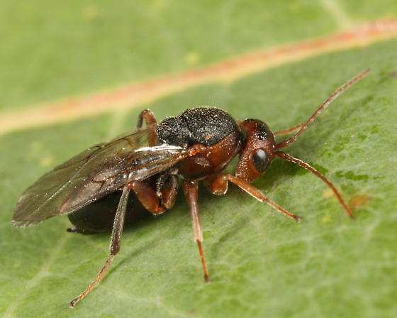 red oak gall wasp - Callirhytis