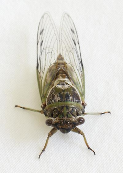Cicada - Diceroprocta biconica