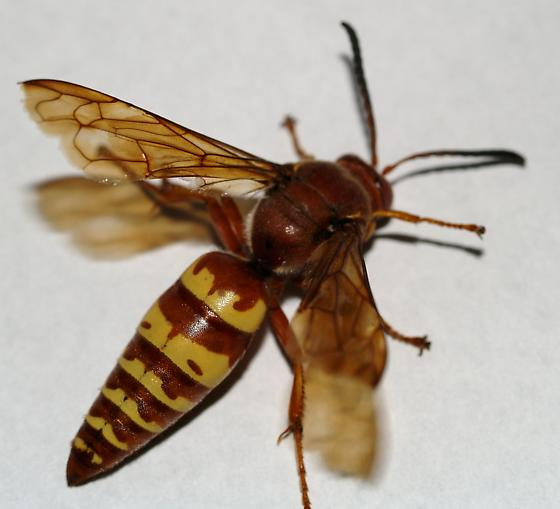 A clearer image of one of the cicada killers - Sphecius grandis - male