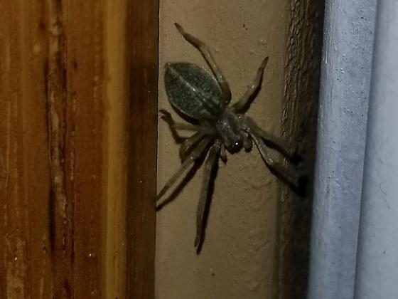 Greenish sac spider with dorsal stripe - Cheiracanthium mildei