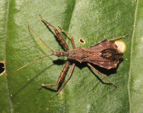 Spined Assassin Bug, dorsal - Sinea diadema