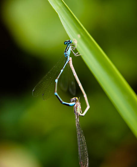 Some kind of damselfly maybe? - Enallagma exsulans