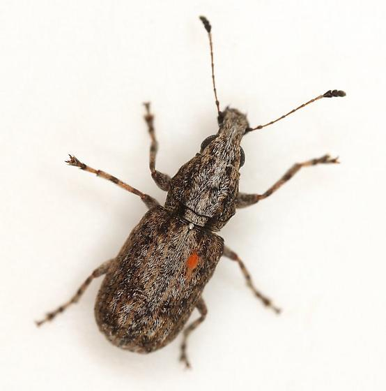 Ischnocerus infuscatus Fahraeus - Ischnocerus infuscatus - female