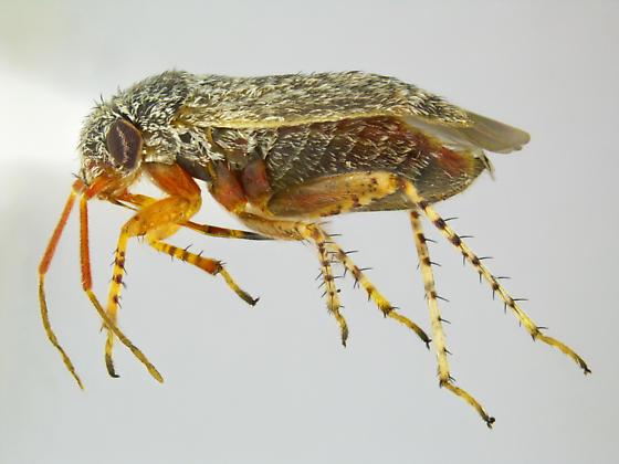 Megalopsallus humeralis - female