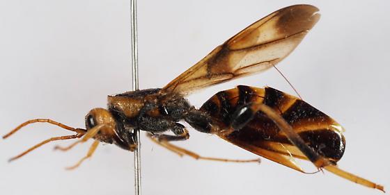 Ibaliidae - Ibalia anceps - female