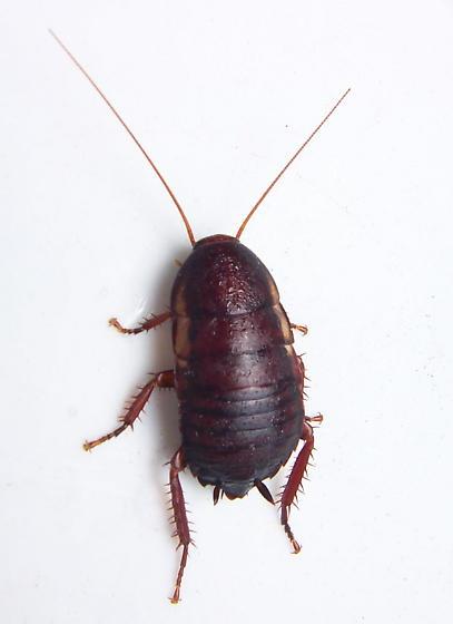 Florida Woods Cockroach - Eurycotis floridana