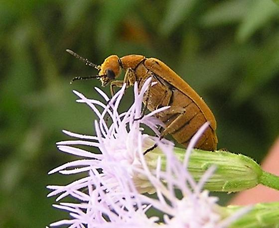 clay-colored blister beetle - Epicauta