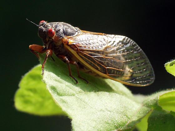 17 year periodical cicada - Magicicada septendecim