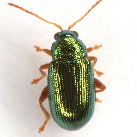 Crepidodera sp. (but not browni) - Crepidodera