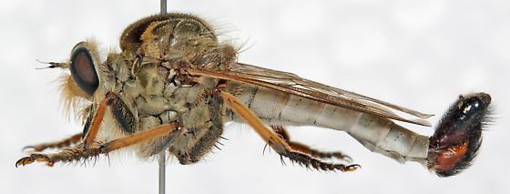 Asilidae - Efferia leucocoma - male