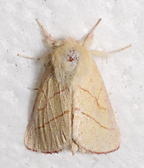 moth - Hyparpax aurostriata