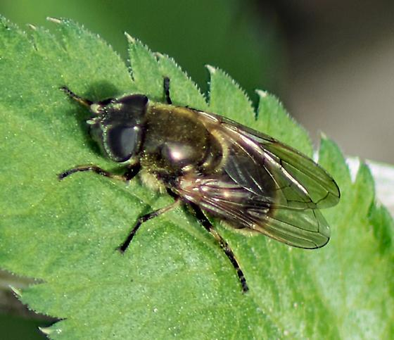 Bee Mimic Fly (Syrphidae)? Can the i.d. be narrowed down further? - Cheilosia