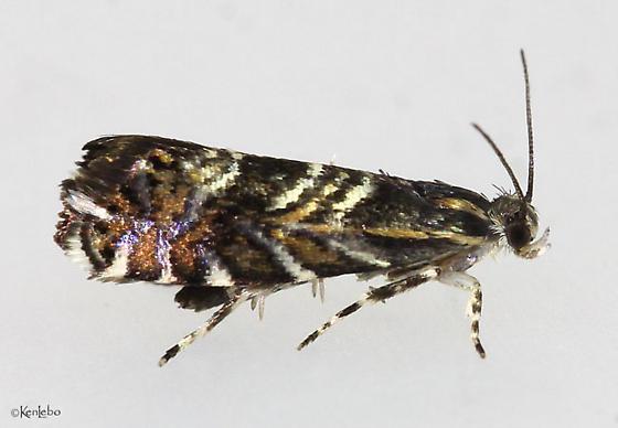 Thaumatographa youngiella