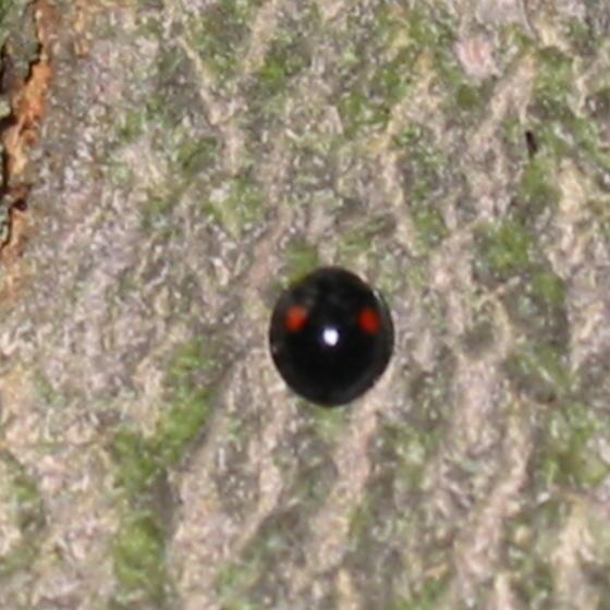 lady bug? - Chilocorus