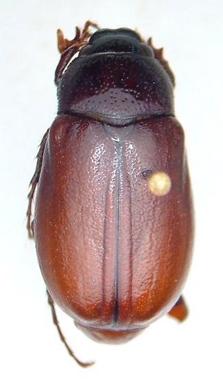Phyllophaga nebulosa - male
