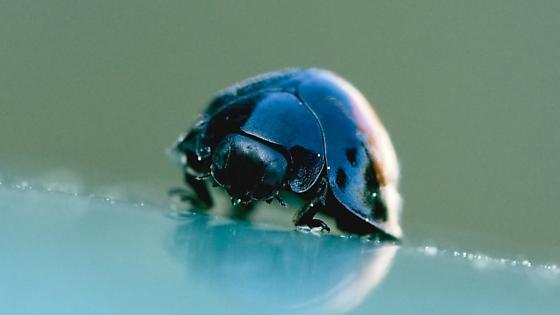 Lady beetle - Chilocorus