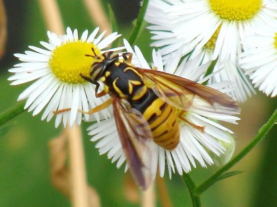 Spilomyia alcimus
