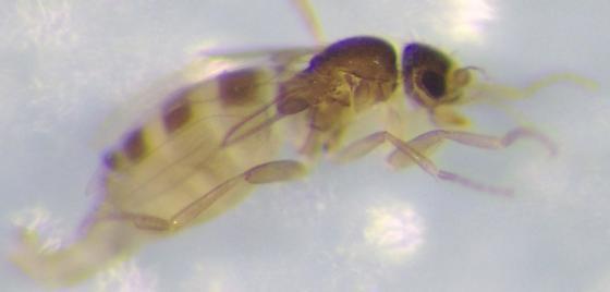 Unusual phorid - Metopina - female