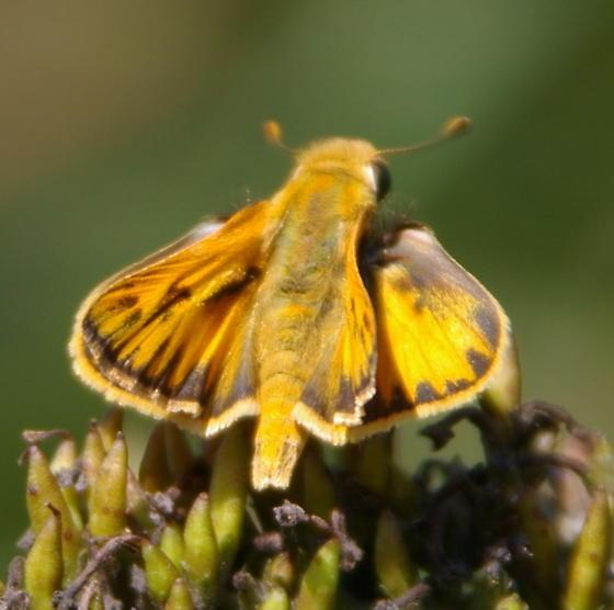 Unknown Skipper? - Hylephila phyleus